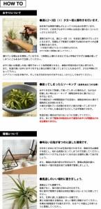 【エアープランツ】キセログラフィカ 約10~15cm インテリア 雑貨 エアプランツ チランジア エアープランツ ティランジア インテリアグリ