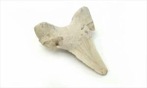 サメ牙 化石 天然石 パワーストーン サメ牙 浄化 天然石 パワーストーン 置物 風水 インテリア