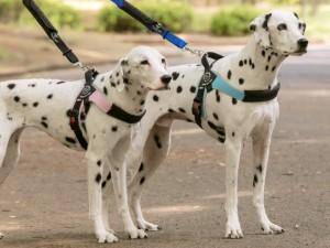 中型犬・大型犬用ハーネス トレ・ポンティ Brio(ブリオ)L