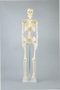 人体骨格模型 85cm 8850【送料無料】