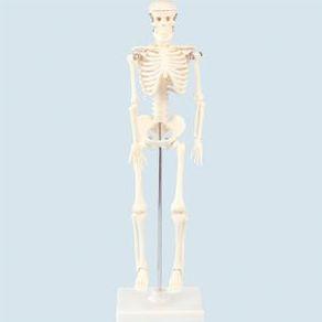 人体骨格模型 42 9976