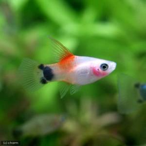 (熱帯魚)ハイフィンレッドバック・ミッキーマウスプラティ(6匹) 北海道・九州・沖縄航空便要保温