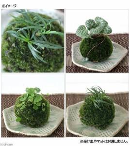 (盆栽)苔玉 植物おまかせ(1個) 観葉植物 コケ玉