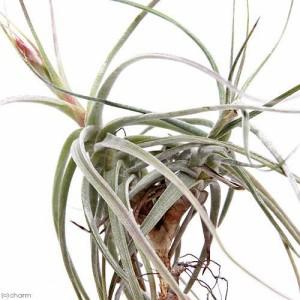 (観葉植物)エアープランツ ティランジア スキディアーナ クランプ(1株)