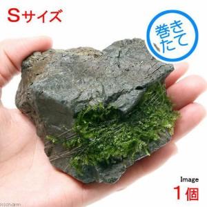 (水草)巻きたて ウィローモスsp.タイプ1 風山石 Sサイズ(無農薬)(1個)
