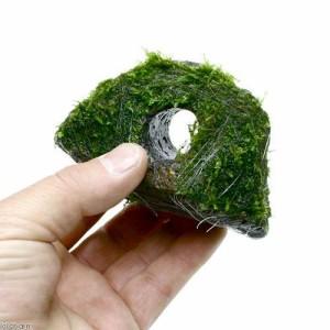 (水草)巻きたて 南米ウィローモス 穴あき溶岩石(無農薬)(3個)
