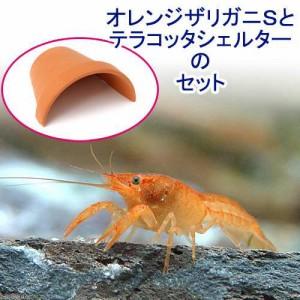 (ザリガニ)オレンジザリガニ Sサイズ(1匹)+テラコッタシェルター特大 1個 シェルター 素焼き 本州・四国限定