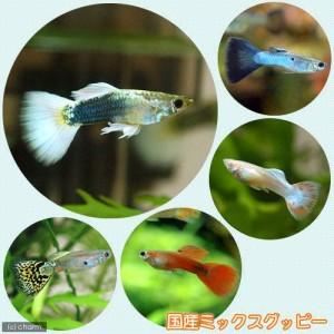 (熱帯魚)国産ミックスグッピー(1ペア)+レッドラムズホーン(5匹) 北海道航空便要保温