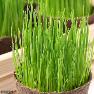(観葉植物)イタリアンライグラス 猫草 ネコちゃんの草 直径8cmECOポット植え(無農薬)(5ポットセット) キャットフード