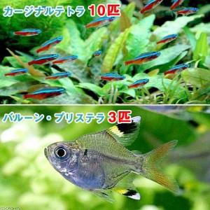 (熱帯魚)カージナルテトラ(ワイルド)(10匹) + バルーン・プリステラ(3匹) 北海道・九州航空便要保温