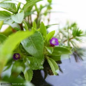 (水草)私のアクアリウム〜ザ・ボンサイ2個セットGemini2〜 本州・四国限定