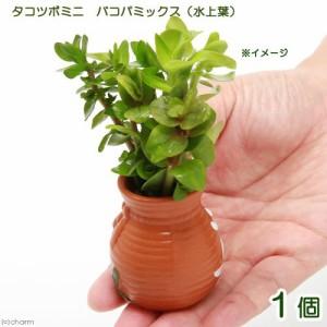 (水草)タコツボミニ バコパミックス(水上葉)(無農薬)(1個)