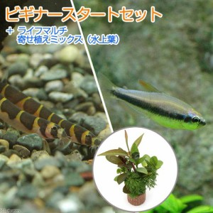 (熱帯魚 水草)ビギナースタートセット インパイクティス・ケリー(6匹) +クーリーローチ(3匹) 北海道航空便要保温