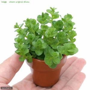 (水草)ミニ素焼き鉢 グリーンロタラ(水上葉)(無農薬)(1鉢)