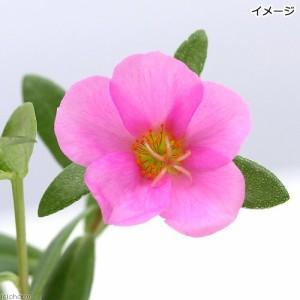 (観葉植物)ポーチュラカ 花色おまかせ(ハナスベリヒユ) 3号(3ポット) 家庭菜園