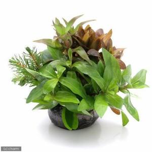 (水草)益子焼 朝摘みおまかせ寄せ植え 丈ショート(水上葉)(無農薬)(1個) おまかせ水上葉(10本) おまけ付き