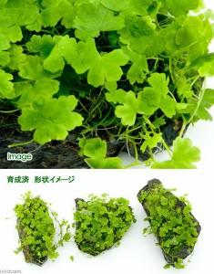 (水草)育成済 オーストラリアン ノチドメ付き風山石 Sサイズ(約10cm)(無農薬)(1個)