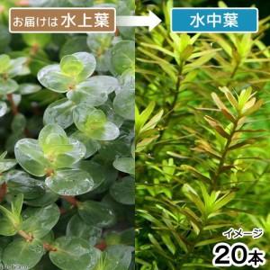 (水草)ロタラsp.ミャンマー産(水上葉)(無農薬)(20本)