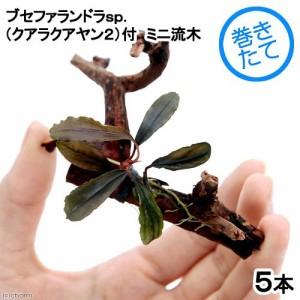 (水草)ブセファランドラsp.(クアラクアヤン2)付 ミニ流木(無農薬)(5本) 沖縄別途送料