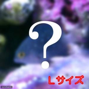 (海水魚)お一人様3点限り おまかせスズメダイ Lサイズ(1匹) 北海道・九州航空便要保温