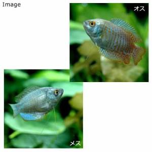 (熱帯魚)ネオン・ドワーフグラミー メス(1匹) 北海道・九州・沖縄航空便要保温