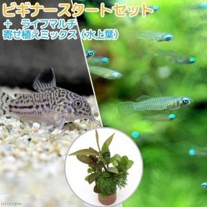 (熱帯魚 水草)ビギナースタートセット アフリカン・ランプアイSサイズ(10匹)+コリドラス・トリリネアータス(1匹) 北海道航