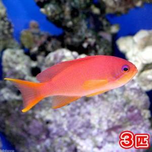 (海水魚)キンギョハナダイ メス(3匹) 北海道航空便要保温