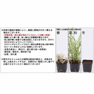 (盆栽)オニグルミの苗(鬼胡桃) 4号(1ポット)