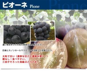 送料無料 山梨県より産地直送 JAこま野 大型ぶどう3種セット(ピオーネ、シャインマスカット、ゴルビー) 合計1.5キロ 産直だより