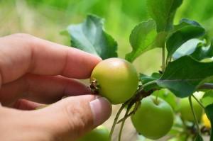 2019年秋から年末の贈り物にりんご鉢植え 長寿紅 プレゼントの贈り物に 花と実が楽しめる鉢植えリンゴ