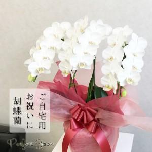 胡蝶蘭 3本立 おしゃれな陶器の鉢 白色 ミディ お祝い 自宅用 (お祝い/プレゼント/還暦祝い/古希祝い/結婚祝い)