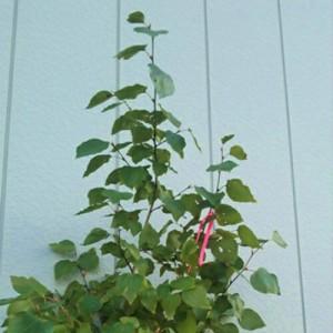 ダンコウバイ 単木 樹高1.5〜1.8m前後 (根鉢含まず)