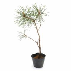 (盆栽)アカマツ(赤松)樹高15〜30cm 2.5〜3号(1ポット)