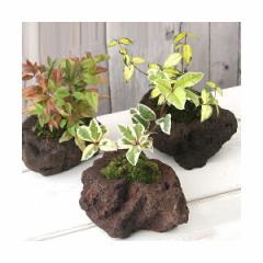 (山野草/盆栽)苔盆栽 おまかせ山野草 溶岩石鉢植え(3鉢)