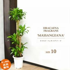 【装飾プレゼント】大型10号 別名「幸福の木」マッサンでHAPPY♪ドラセナ マッサン