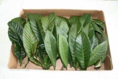 無農薬 枇杷の葉(びわの葉) 300g(枇杷の生葉30枚〜40枚) 【長崎・大分県産】
