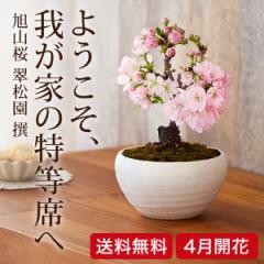 (桜盆栽)旭山桜 盆栽(送料無料)(桜 盆栽 bonsai ボンサイ さくら ミニ盆栽 お祝い) 翠松園 撰【包装不可・のし不可】