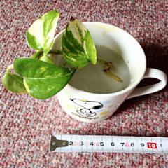 ★ お部屋に緑を 成長が楽しみな観葉植物 ポトスの苗 ★