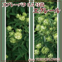 5/12土以降出荷予定 バラ 3.5号 エクレール バラの苗 3つセット 苗 送料別