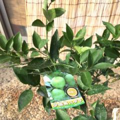 香酸柑橘 苗木 小核系スダチ 15cmポット苗 香酸柑橘 苗