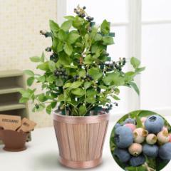 父の日 フラワーギフト 鉢植え「実付きブルーベリー〜収穫が待ちどおしい〜」