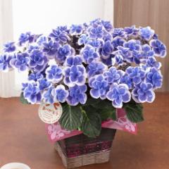 母の日 フラワーギフト 送料無料 鉢植え「アジサイ ドリップブルー」