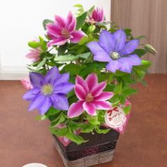 母の日 フラワーギフト 送料無料 鉢植え「華やかな2色植えクレマチス」