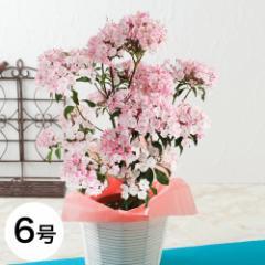 母の日 フラワーギフト 送料無料 鉢植え「カルミア」