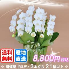 胡蝶蘭 白ミディ 3本立ち 21輪以上(つぼみ込み) 送料無料(ヤマト運輸での配送です