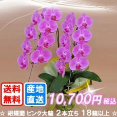 胡蝶蘭 ピンク大輪 2本立ち 18輪以上(つぼみ込み) 送料無料(ヤマト運輸での配送で