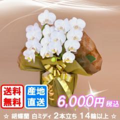 胡蝶蘭 白ミディ 2本立ち 14輪以上(つぼみ込み) 送料無料(ヤマト運輸での配送です