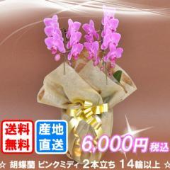 胡蝶蘭 ピンクミディ 2本立ち 14輪以上(つぼみ込み) 送料無料(ヤマト運輸での配送