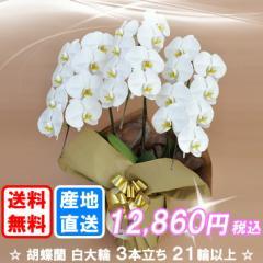 胡蝶蘭 白大輪 3本立ち 21輪以上(つぼみ込み) 送料無料(ヤマト運輸での配送です)
