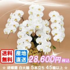 胡蝶蘭 白大輪 5本立ち 45輪以上(つぼみ込み) 送料無料(佐川急便での配送です)